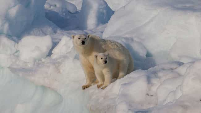 Polar Bear is listed (or ranked) 3 on the list Single Moms Of The Animal Kingdom Doin' It For Themselves