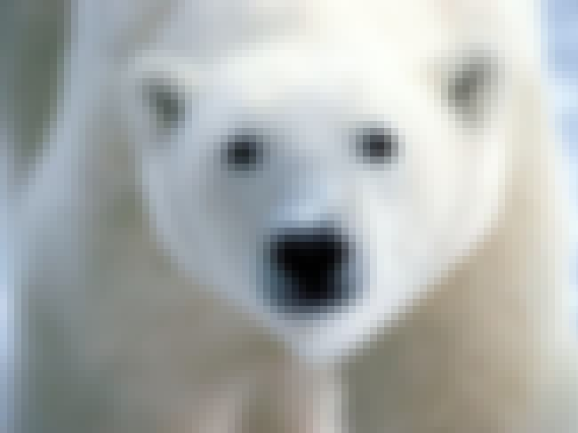 Polar Bear is listed (or ranked) 4 on the list Animals That People Mistakenly Think Are Endangered - But Actually Aren't