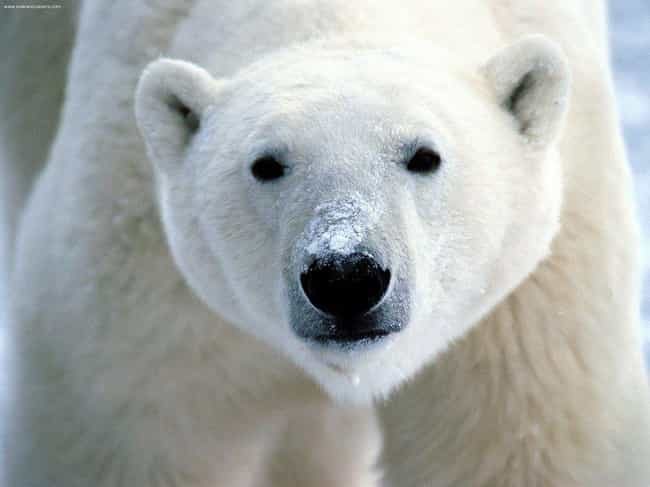 Polar Bear is listed (or ranked) 2 on the list Animals That People Mistakenly Think Are Endangered - But Actually Aren't