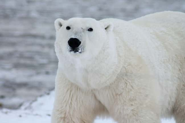 Polar Bear is listed (or ranked) 5 on the list 28 Cute Animals That You Don't Want To Mess With