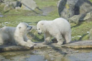 Polar Bear is listed (or ranked) 1 on the list Animals with the Cutest Babies