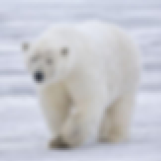 Polar Bear is listed (or ranked) 3 on the list The Scariest Types of Bears in the World