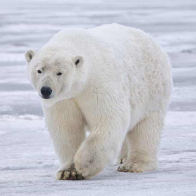 Polar Bear is listed (or ranked) 1 on the list The Scariest Types of Bears in the World
