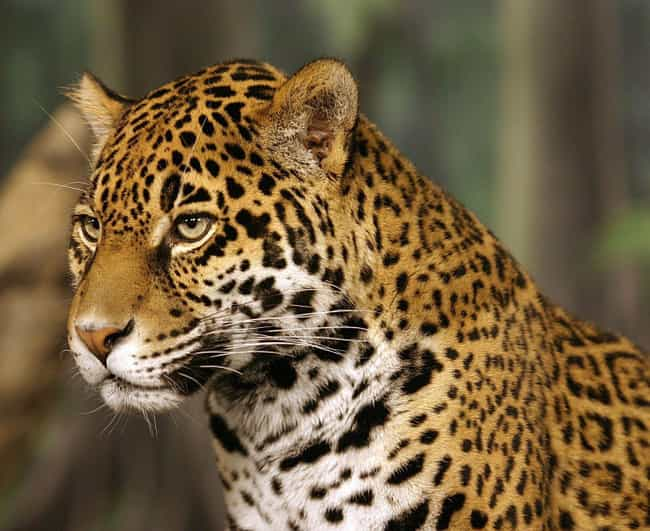Jaguar is listed (or ranked) 3 on the list The Biggest and Best Big Cats
