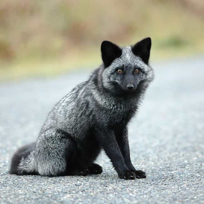 Red Fox is listed (or ranked) 2 on the list 19 Photos Of Melanistic (All Black) Animals That'll Leave You In Awe Of Mother Nature