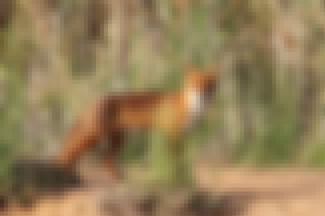 Red Fox is listed (or ranked) 4 on the list Invasive Species In Australia Are Wreaking Absolute Havoc