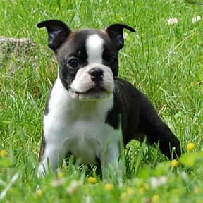 Boston Terrier is listed (or ranked) 24 on the list The Best Dogs for Kids