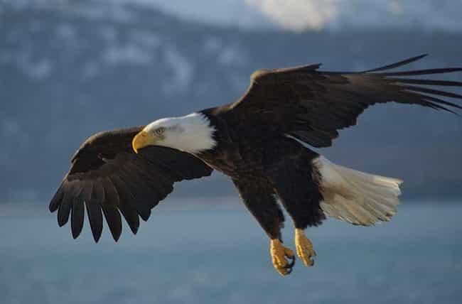 Bald Eagle is listed (or ranked) 4 on the list Animals That People Mistakenly Think Are Endangered - But Actually Aren't