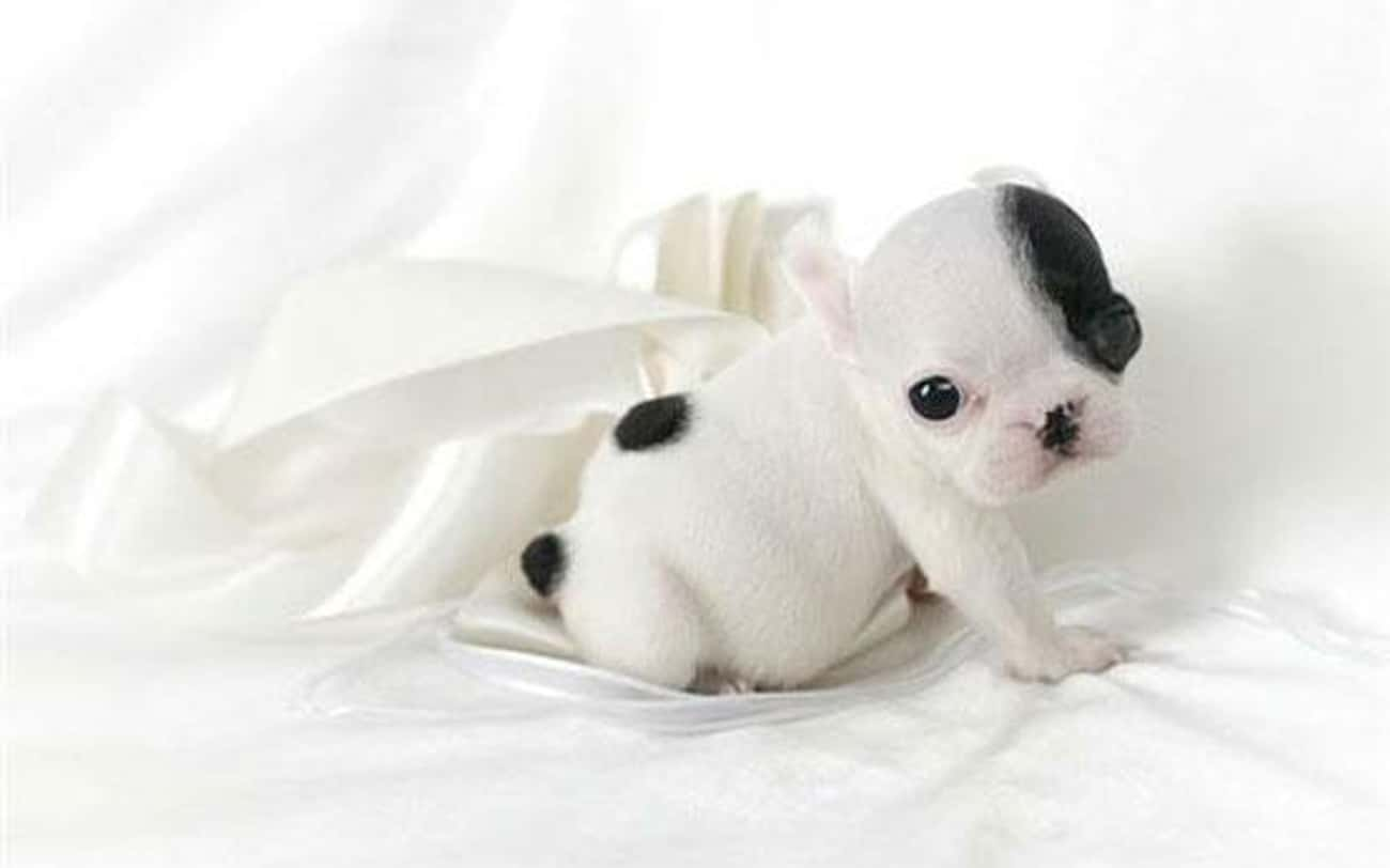French Bulldog is listed (or ranked) 1 on the list The Best Apartment Dogs for City Living