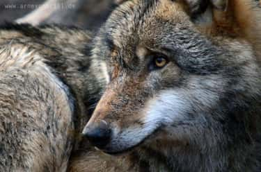 Gray Wolf is listed (or ranked) 2 on the list The Most Charismatic Megafauna