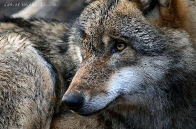 Gray Wolf is listed (or ranked) 4 on the list The Most Charismatic Megafauna