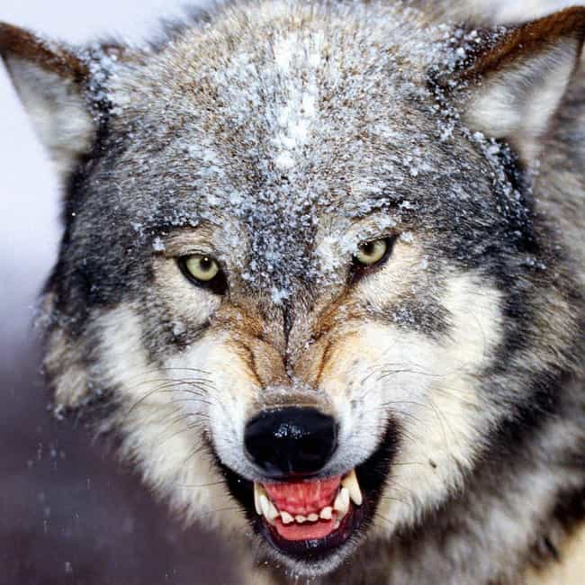 Gray Wolf is listed (or ranked) 4 on the list Which Wild Animal Are You Most Like, According To Your Zodiac Sign?