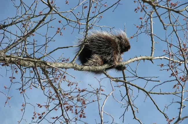 Porcupine is listed (or ranked) 4 on the list 13 Animals Who Are Into Golden Showers