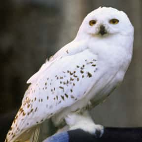 Hedwig is listed (or ranked) 15 on the list The Greatest Harry Potter Characters, Ranked