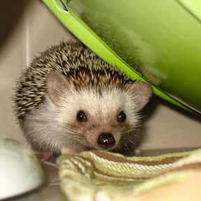 Hedgehog is listed (or ranked) 16 on the list The Best Pets for Kids