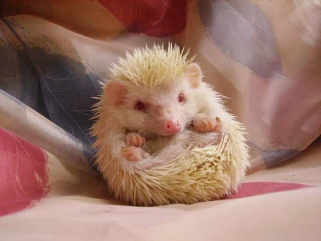 Hedgehog is listed (or ranked) 15 on the list 38 Incredible Albino (and Leucistic) Animals