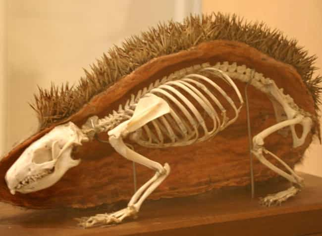 Hedgehog is listed (or ranked) 4 on the list Here's What the Skeletons of All Your Favorite Cute Animals Look Like