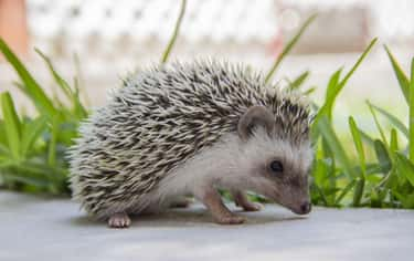 Hedgehogs is listed (or ranked) 1 on the list 28 Cute Animals That You Don't Want To Mess With