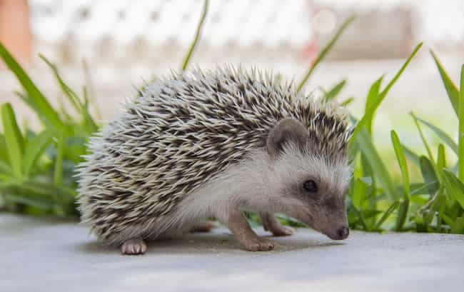 Hedgehog is listed (or ranked) 1 on the list 28 Cute Animals That You Don't Want To Mess With