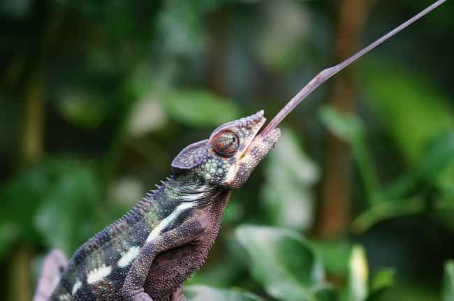 Chameleon is listed (or ranked) 1 on the list The Craziest Tongues In Nature