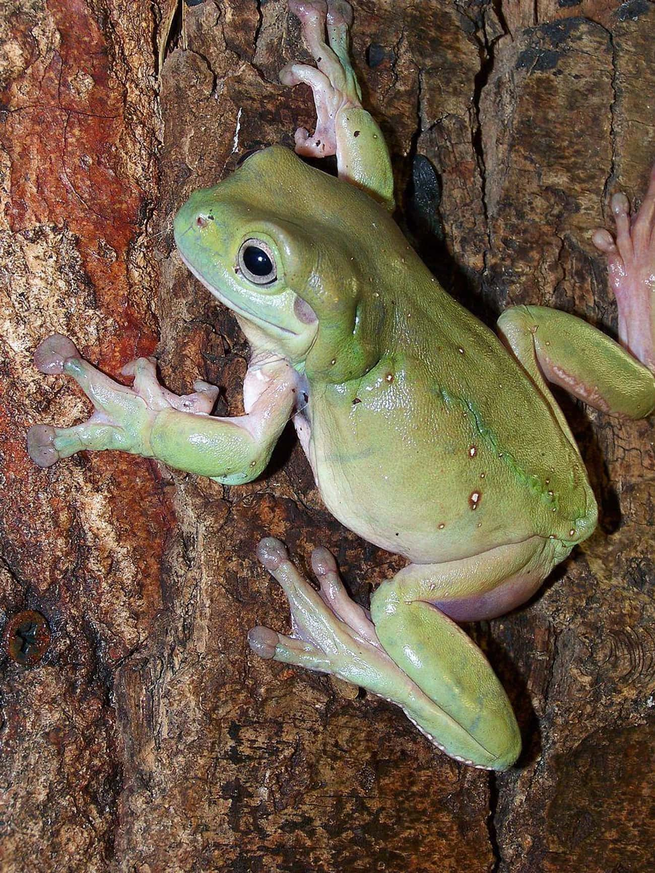 Frogs Can Take Down Snakes is listed (or ranked) 3 on the list Animals That Devour Their Prey In Just One Bite