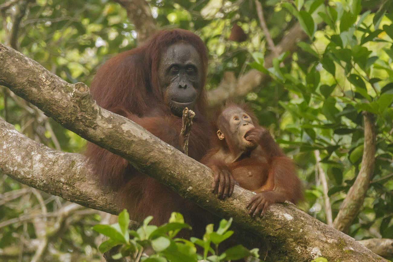 Orangutans Raise Their Young L is listed (or ranked) 1 on the list Single Moms Of The Animal Kingdom Doin' It For Themselves