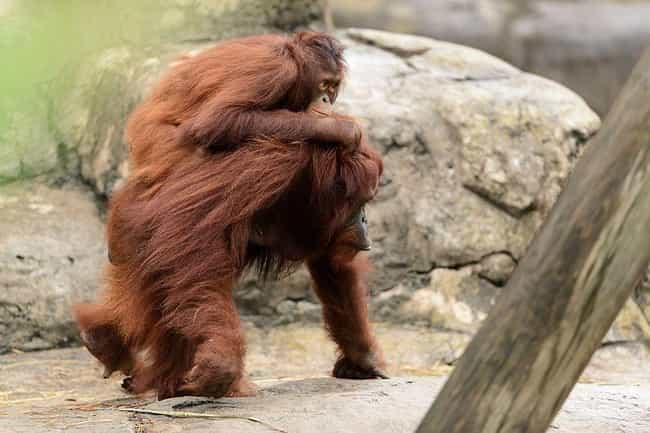 Orangutan is listed (or ranked) 1 on the list Single Moms Of The Animal Kingdom Doin' It For Themselves