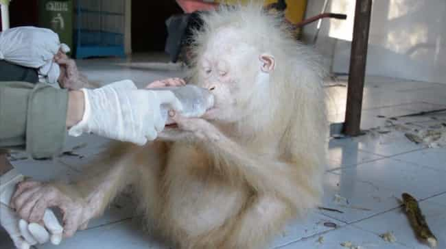 Orangutan is listed (or ranked) 4 on the list 38 Incredible Albino (and Leucistic) Animals