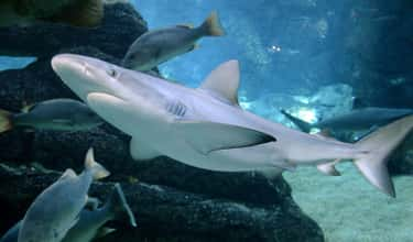 Singular Shark Reproduction Wo is listed (or ranked) 2 on the list Immaculate Conception: Animals That Have Virgin Births