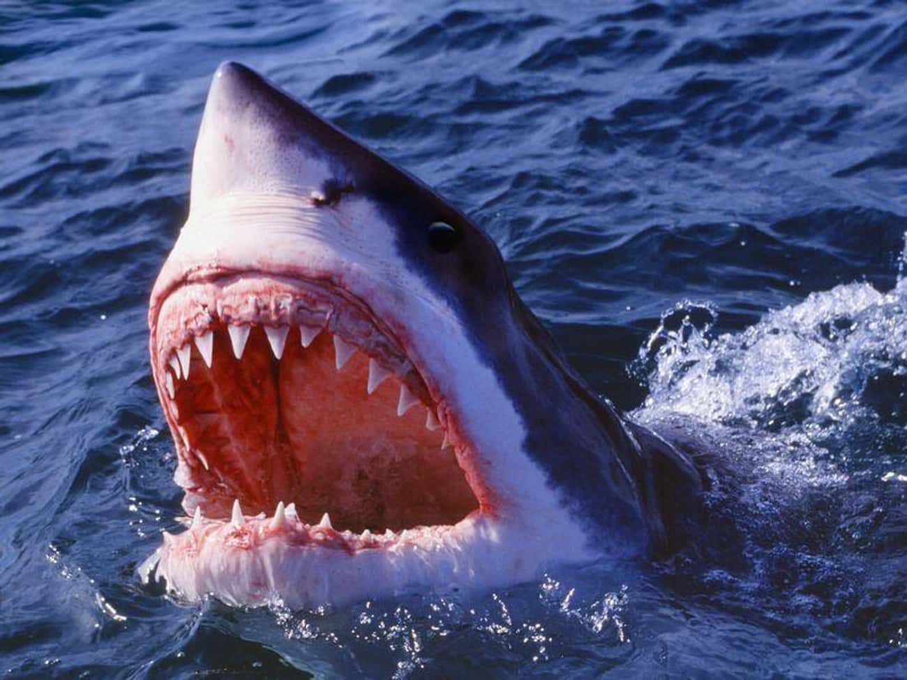 Sharks Smell Blood From Miles  is listed (or ranked) 1 on the list Facts About Animals That You Have Completely Wrong Thanks To Movies And TV