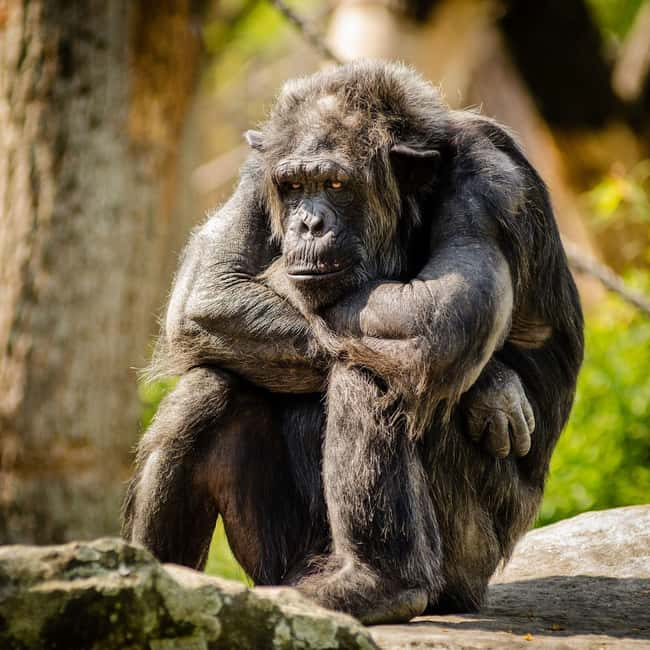 Chimpanzee is listed (or ranked) 14 on the list 28 Cute Animals That You Don't Want To Mess With