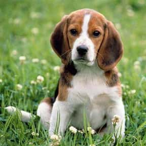 Beagle is listed (or ranked) 9 on the list The Very Best Dog Breeds, Ranked