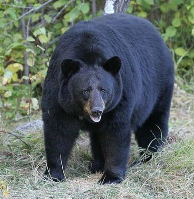 American black bear is listed (or ranked) 6 on the list The Scariest Types of Bears in the World