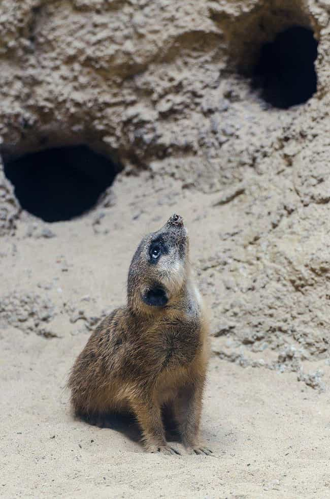 Meerkat is listed (or ranked) 2 on the list 25+ Desert Creatures That Have Adapted To Extreme Conditions