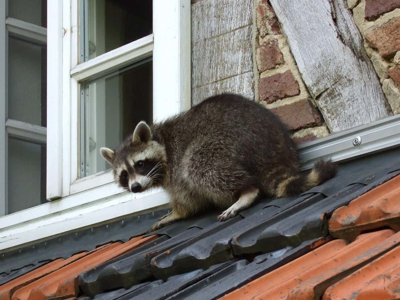 Raccoons is listed (or ranked) 3 on the list 13 Animals That Have Adapted To Thrive In Cities
