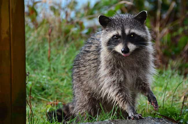 Raccoon is listed (or ranked) 1 on the list 28 Cute Animals That You Don't Want To Mess With