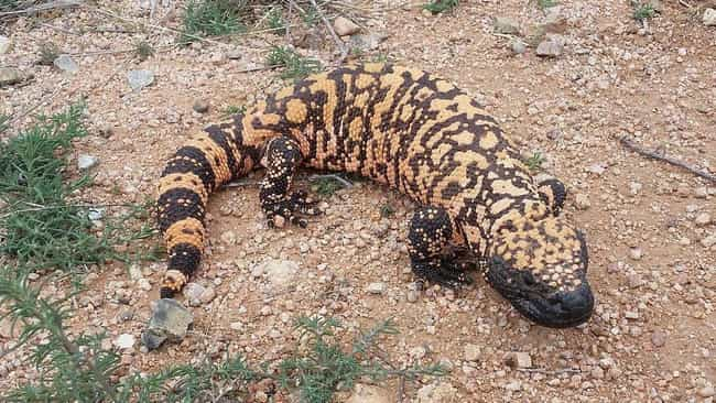 Gila monster is listed (or ranked) 1 on the list 12 Of The Most Nightmarish Creatures You Might Encounter In Arizona
