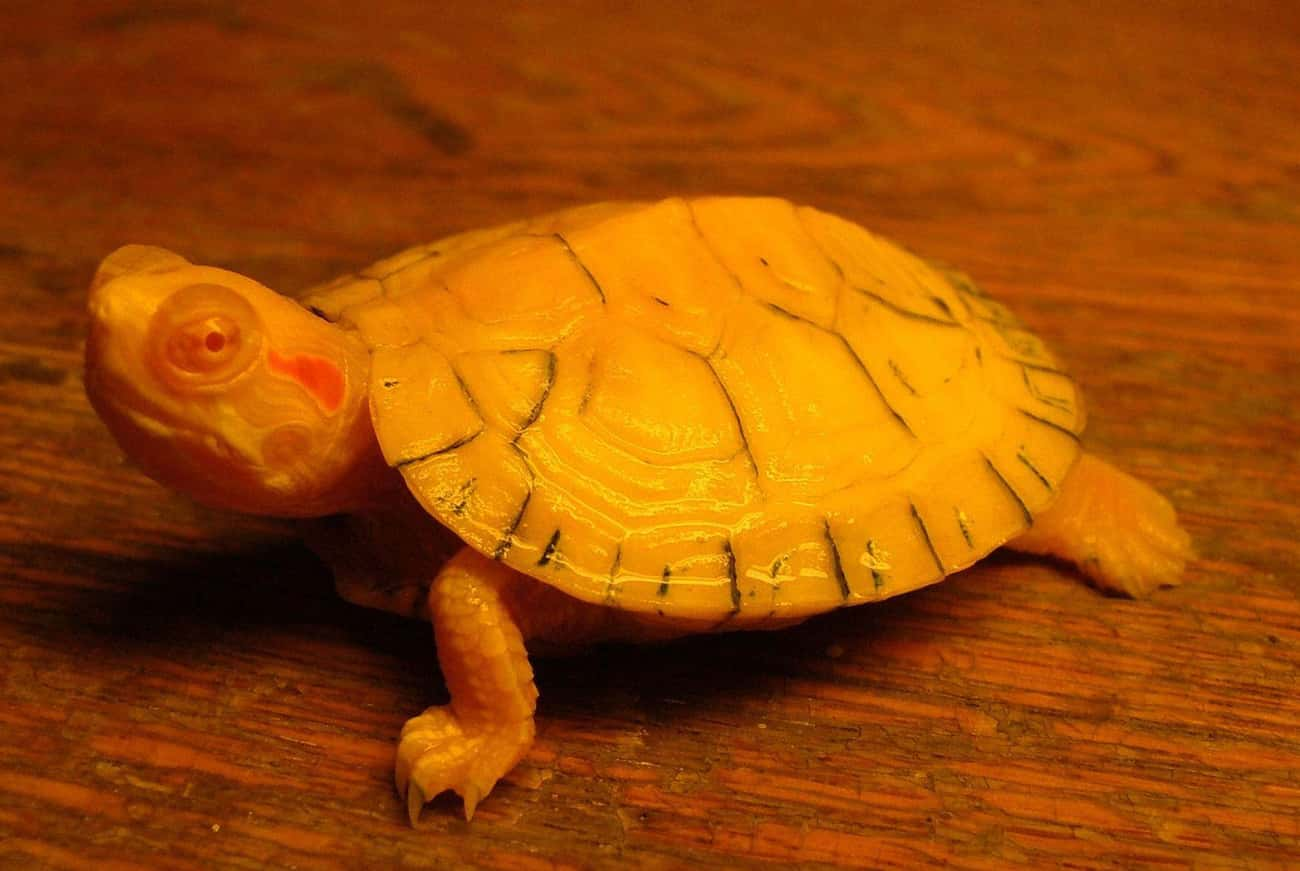 This Red-Eared Slider Is One F is listed (or ranked) 4 on the list Rare Photos Of Albino Baby Animals