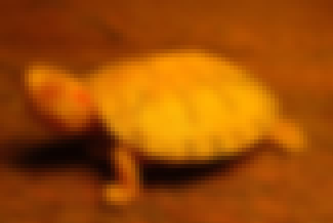 Red-eared slider is listed (or ranked) 4 on the list Rare Photos Of Albino Baby Animals