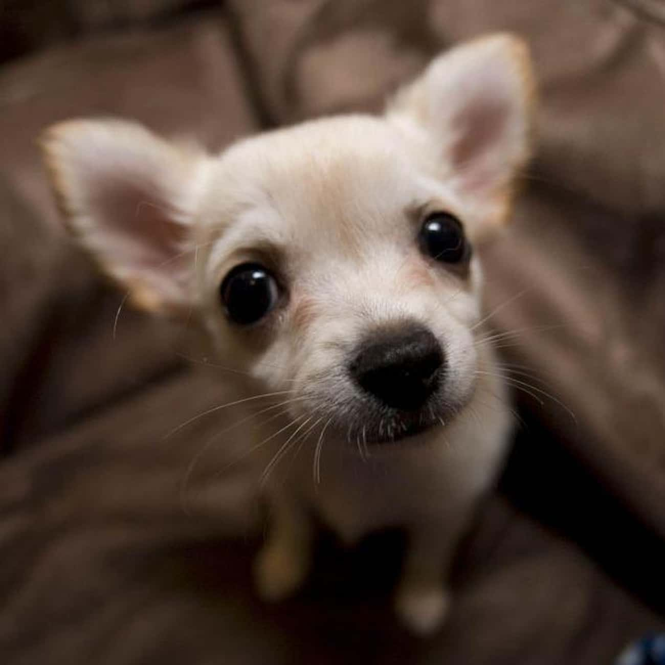 Taurus - Chihuahua is listed (or ranked) 2 on the list Which Dog Breed Should You Get, Based On Your Zodiac Sign?