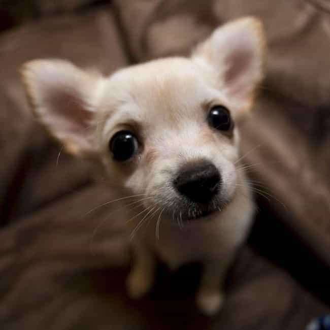 Chihuahua is listed (or ranked) 2 on the list Which Dog Breed Should You Get, Based On Your Zodiac Sign?