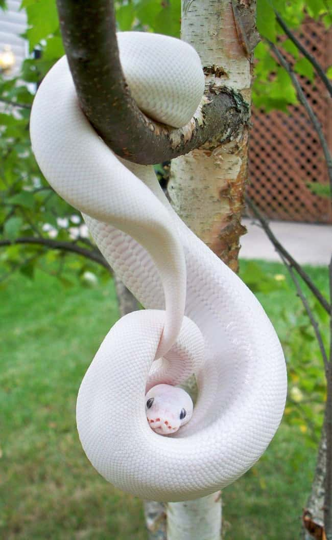 Python is listed (or ranked) 10 on the list 38 Incredible Albino (and Leucistic) Animals