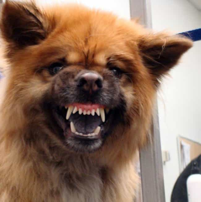 Chow Chow is listed (or ranked) 3 on the list The Scariest-Looking Dogs in the World