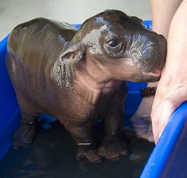 Hippopotamus is listed (or ranked) 7 on the list The Top 29 Most Deadly Animals