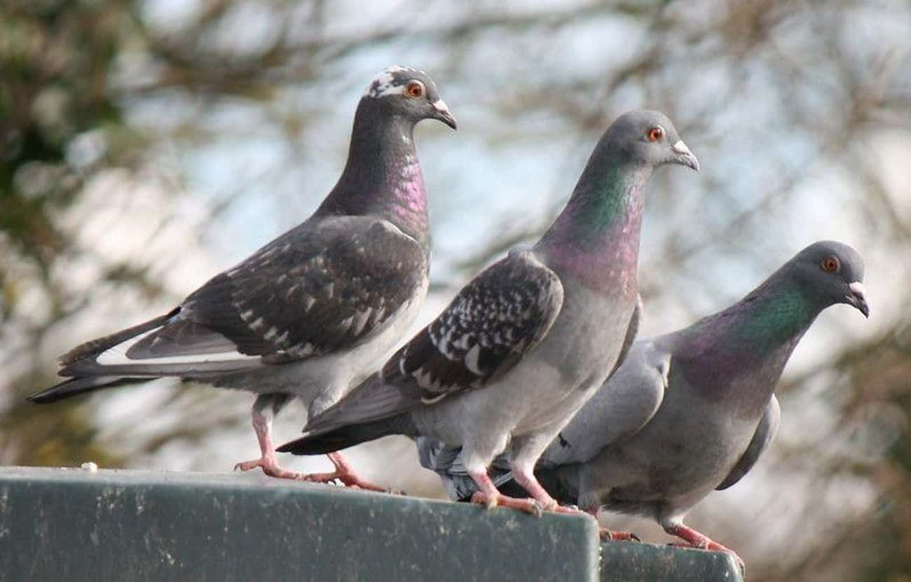 Pigeons is listed (or ranked) 2 on the list 13 Animals That Have Adapted To Thrive In Cities