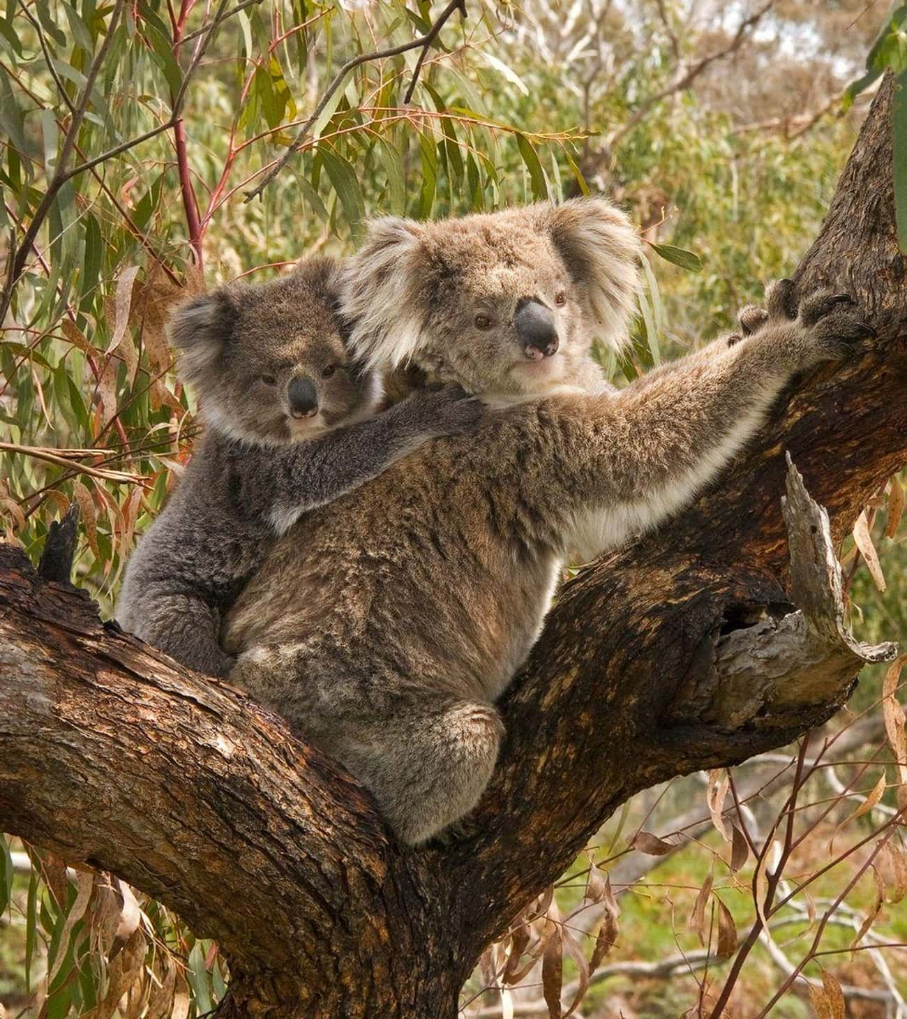 Most Female Koalas Have Chlamy is listed (or ranked) 3 on the list 25 Fascinating Facts You Probably Never Learned About Marsupials