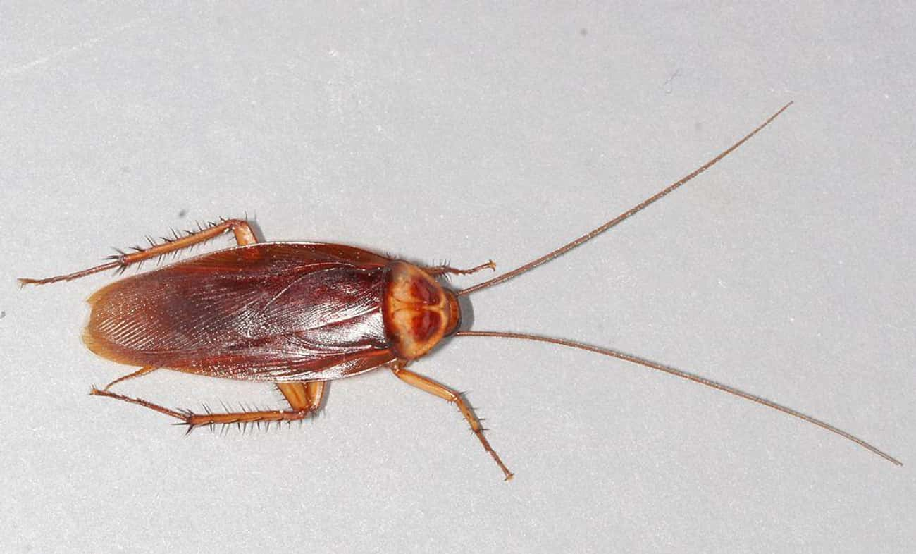 Cockroaches is listed (or ranked) 4 on the list 13 Animals That Have Adapted To Thrive In Cities