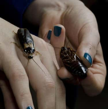 Cockroaches Love Snacking On T is listed (or ranked) 2 on the list Creepy Insect Facts That Will Keep You Up At Night