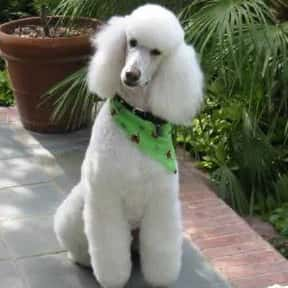 Poodle is listed (or ranked) 2 on the list The Best Dogs for Allergies