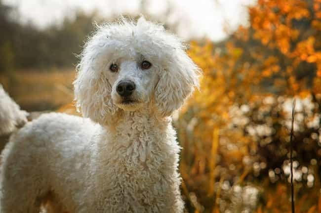 Poodle is listed (or ranked) 2 on the list These Are The Most Intelligent Dog Breeds, According To Research